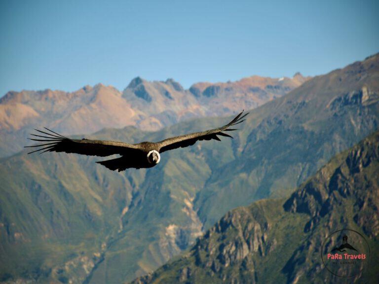 Condor close-up